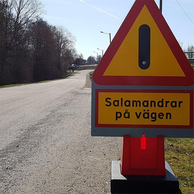 Salamandrar på vägen